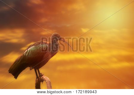 Hadada Ibis On The Tree, Sunset Or Sunrise