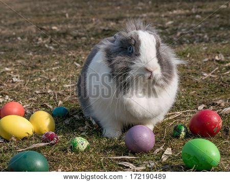 Happy Easter. Closeup image of a cute dutch bunny
