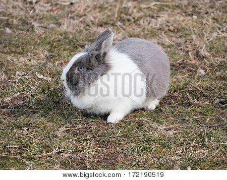 Dutch Rabbit domestic sitting feeding on grass