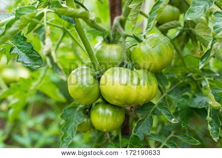 Growing the tomatoes. Unripe tomatoes in the vegetable garden.