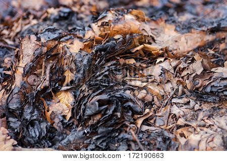 Pile of charred autumn leaves after the fire. Close up.