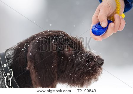hand of woman training young hunting dog with clicker