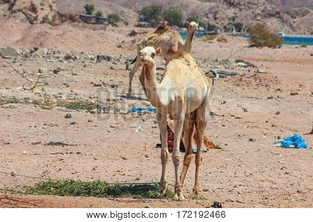 Two Camels Traveling In The Desert Of Sinai, Egypt. Landscape With The Sea And The Mountains In The
