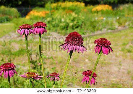 Echinacea flowers on a background of flowering garden.