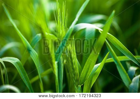 Barley grass or wall barley (Hordeum murinum). Close up.