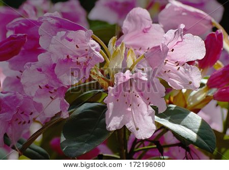 Pink flower and green leaves, Rhododendron, Azalea
