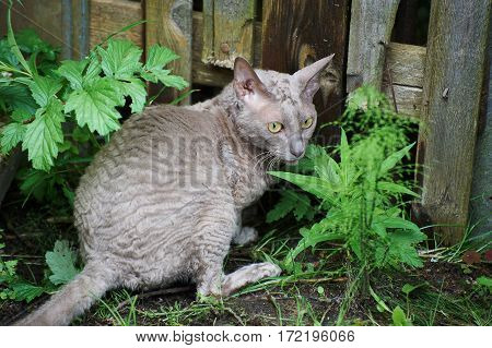 Gray cat with waved hair sitting near fence