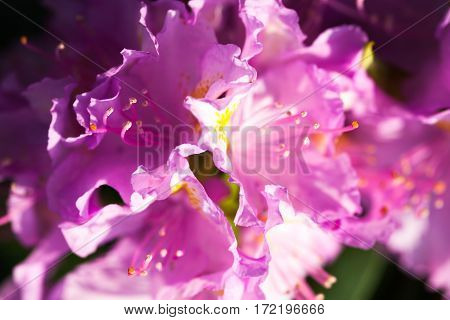 Pink flowers of rhododendron shrub. Close up.