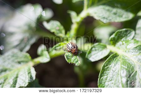 Colorado potato beetle on the potato plant. Close-up.