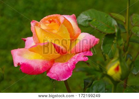 Pink and yellow rose with water drops. Rose isolated on green background.