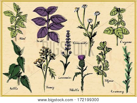 Vector illustration of medical herbs set with calligraphy labels: mint, basil, camomile, oregano, nettle, tancy, lavender, thistle, thyme, rosemary. Vintage hand-drawn style.