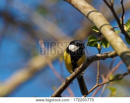 Titmouse on a branch - (Parus major)