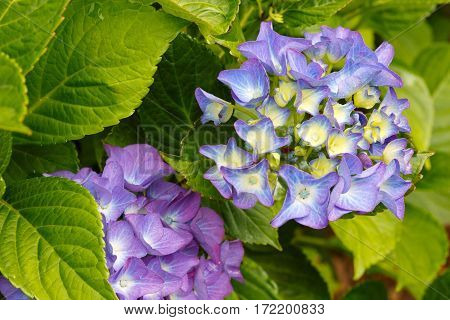 Blue Hydrangea flowers in the summer garden.