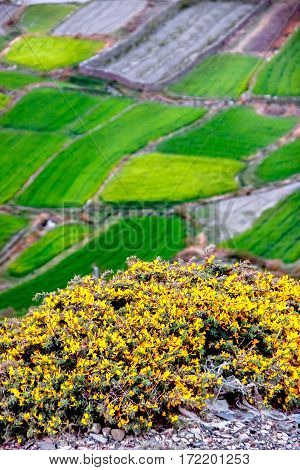 Yellow wild flowers on the background of emerald green fields. View from above. Nepal. The village of Kagbeni.