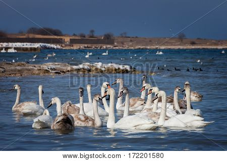 The White swans floating on the water
