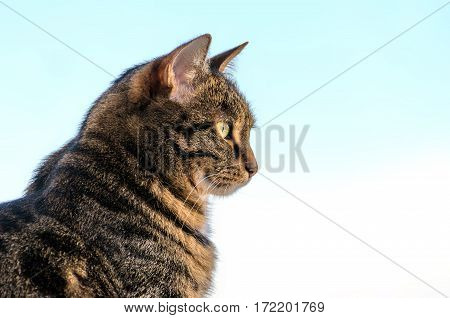 Cat tabby in color against the sky