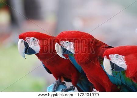 Three scarlet macaws sitting on a tree perch.