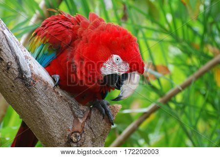 Beautiful scarlet macaw bird sitting in a tropical tree.