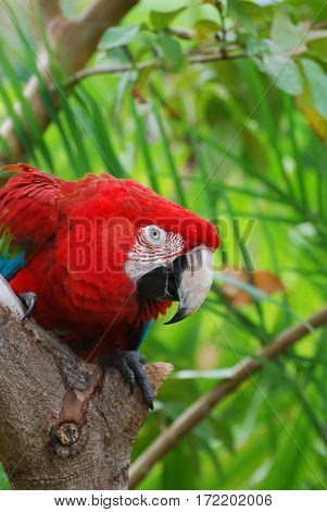 Macaw parrot sitting perched in a tree.