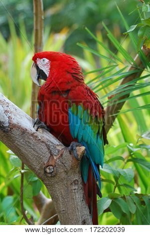 Scarlet macaw bird sitting perched on a tree branch.