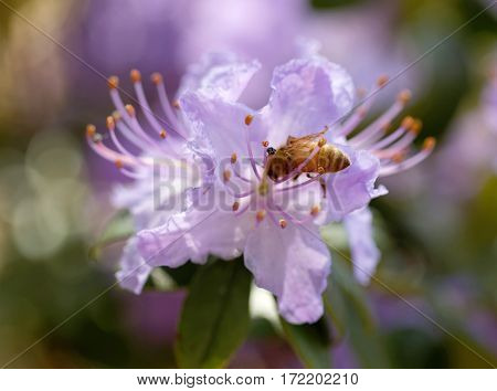 Blue rhododendron or rosebay flower and a bee (latin name: Rhododendron carolinianum).