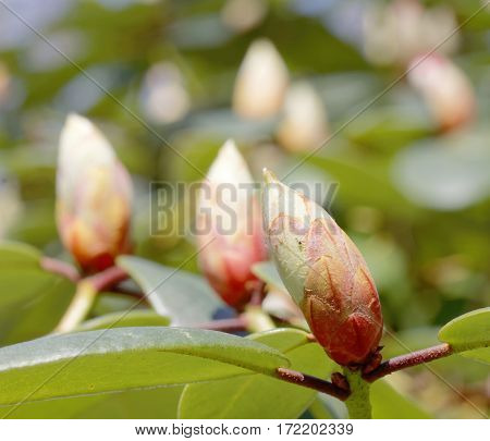 Rhododendron or rosebay buds (latin name: Rhododendron carolinianum).
