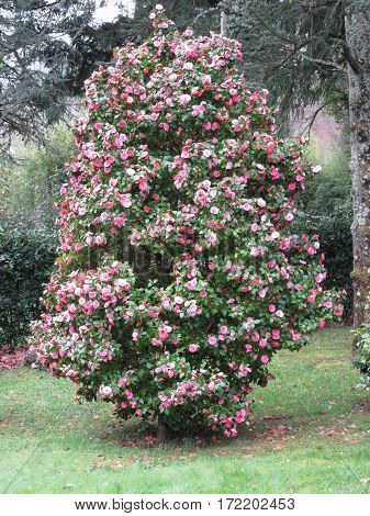Ancient japanese cultivar of Camellia japonica flower . Evergreen shrub