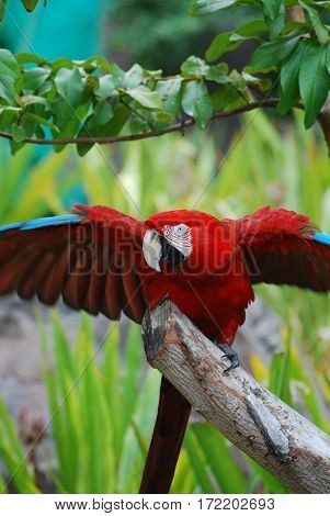 A scarlet macaw bird iwth his wings extended out.