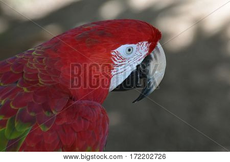 A side view of a scarlet macaw bird.