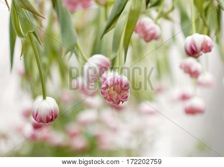 Pink and white tulips hanging from the ceiling (latin name: tulipa gesneriana). Short depth of focus.