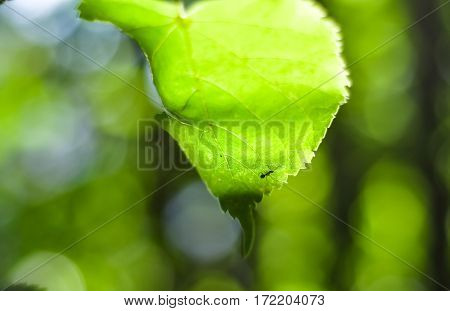 Ant Silhouette On Green Leaf Lit By Sunlight. Beautiful Bokeh Unfocused Background
