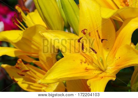 Extreme close up of a yellow lily flowers. Yellow lilies.