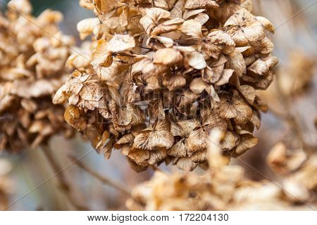 Withered hydrangea (hortensia) flowers in winter. Close up.