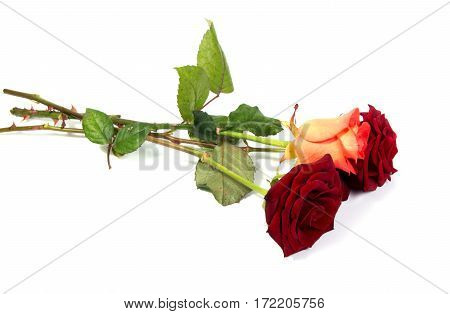 Red rose flower head . Petals Borderisolated on white background cutout