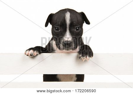 Cute black and white 5 weeks old stafford terrier puppy hanging over a white wooden crate on a white background