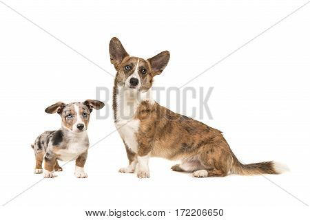 Puppy and adult welsh corgi together isolated on a white background