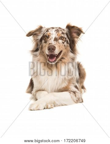 Pretty australian shepherd lying down on the floor seen from the front facing the camera isolated on a white background