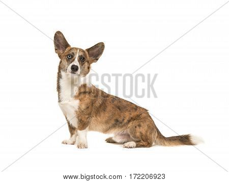 Pretty and proud adult welsh corgi adult dog sitting with ears up seen from the side isolated on a white background
