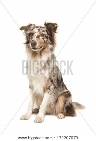 Cute sitting smiling australian shepherd seen from the side isolated on a white background