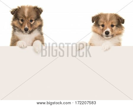 Two sheltland sheepdog puppies hanging over an paper board border with space for text on a white background