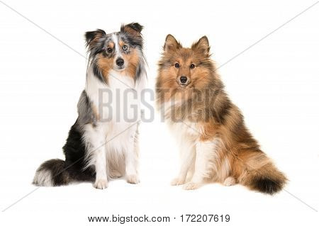Two shetland sheepdogs in different colors facing the camera isolated on a white background