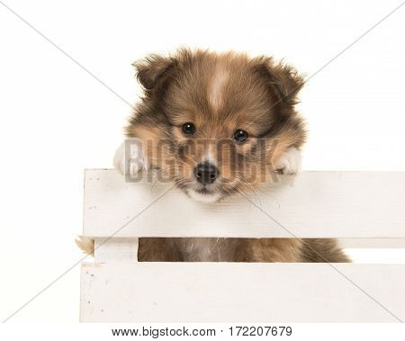 Cute shetland sheepdog puppy hanging onver the border of a white crate isolated on a white background