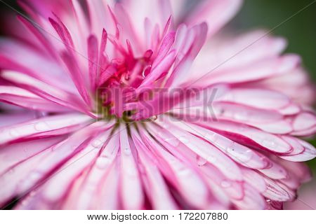Pink daisy with drops of dew. Close up.
