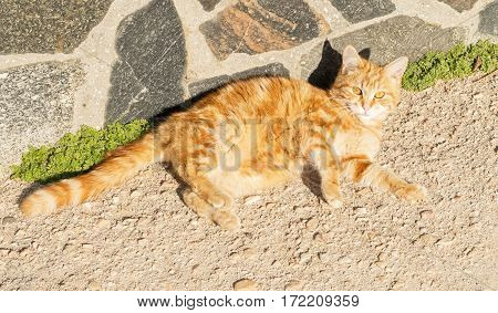big red cat is resting under the sun