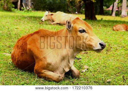 Asian Brown Cow Lay On Grass Lawn