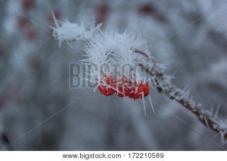 Branches mountain ash covered hoar-frost in fairy winter forest.