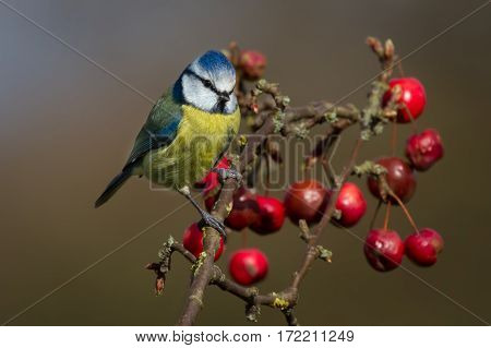 Eurasian blue tit Cyanistes caeruleus perched on a branch against a natural background feeding on and surrounded by red berries