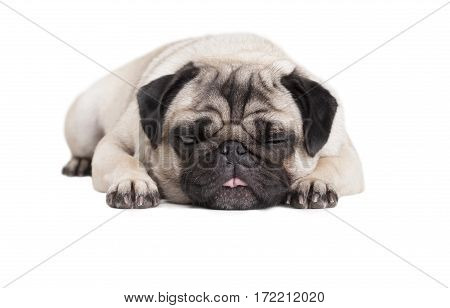 adorable cute pug puppy dog lying down flat with face on floor and tongue out isolated on white background