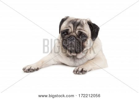 lovely pug puppy dog lying down on ground isolated on white background