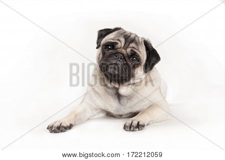 cute pug dog puppy lying down with cocky face